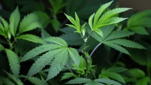 Bergen County Marijuana Charges Dismissed